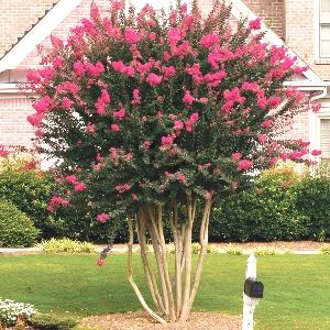 Crepe Myrtle Tree Pruning