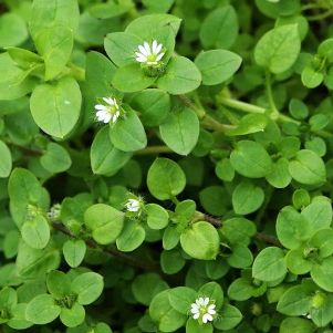 Chickweed Weed Control
