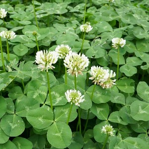 Clover Weed Control