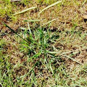 Dallisgrass Weed Control